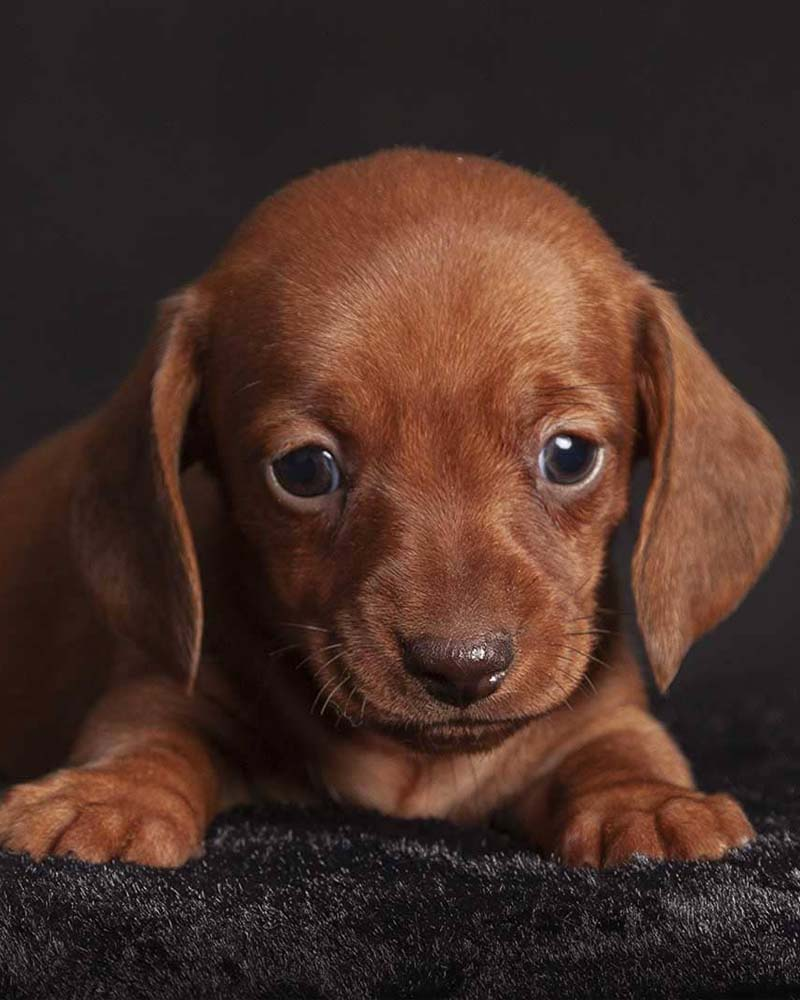 Peluquería e higiene de perros de pelo corto