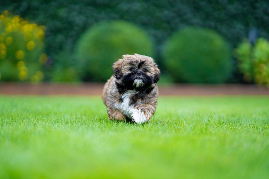 raza de perro shihtzu ejercicio