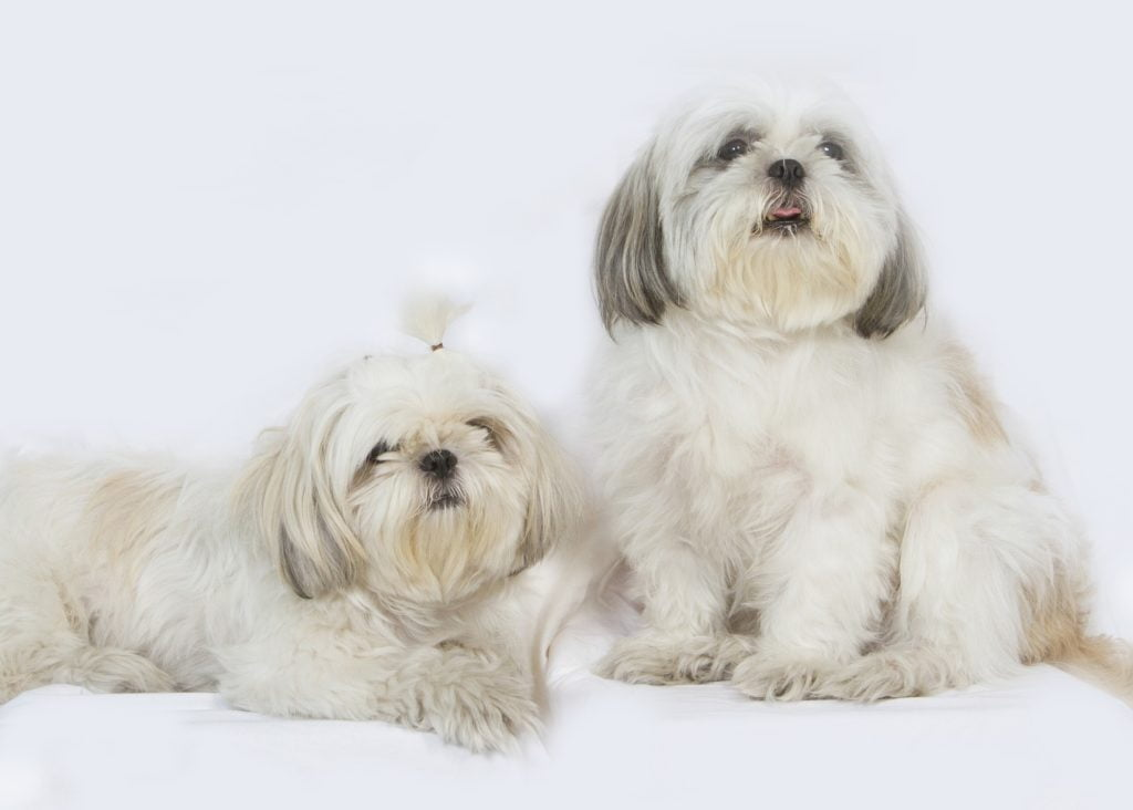 raza perro shihtzu peinados
