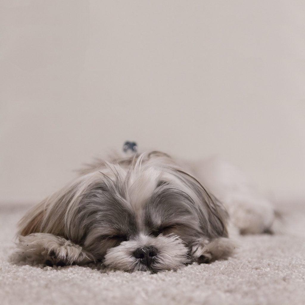 raza de perro shihtzu ronquidos