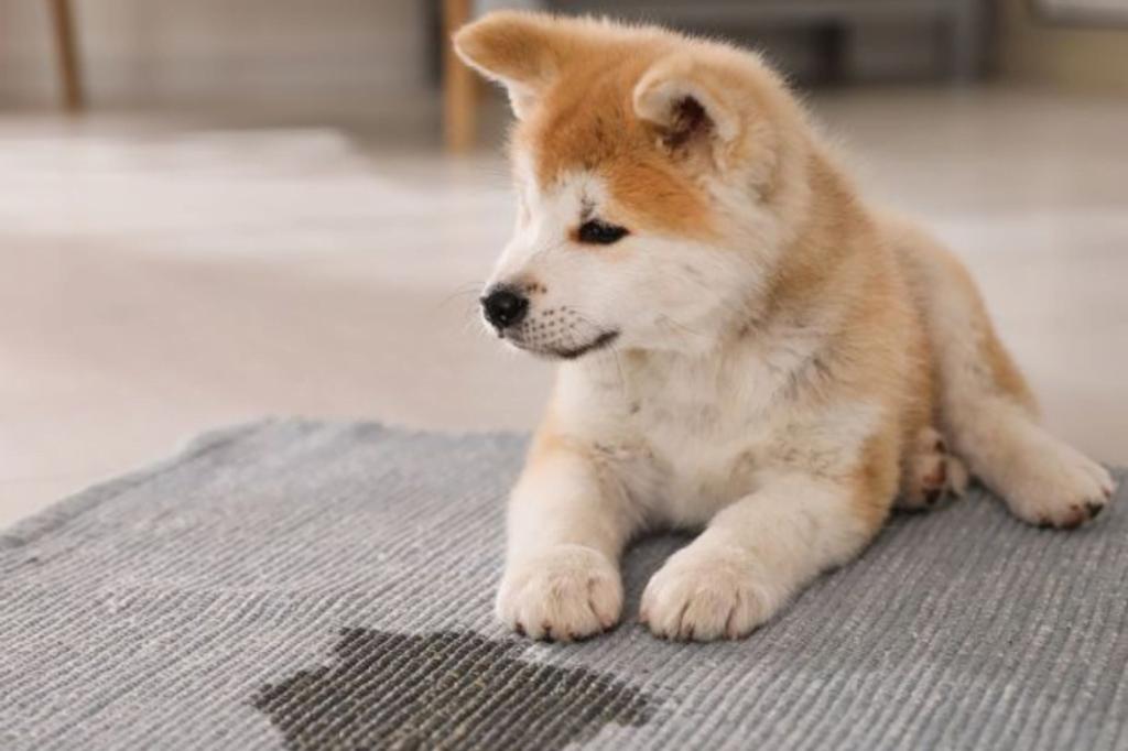 cómo enseñar a tu perro a hacer pis fuera de casa