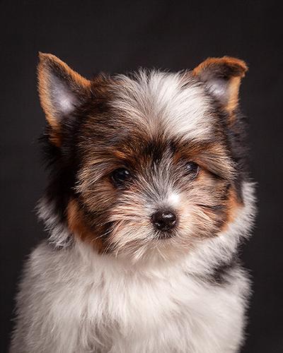 cachorro biewer terrier