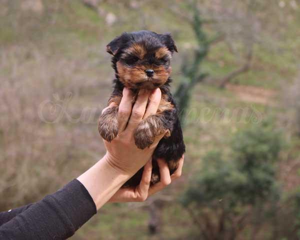 cachorros yorkshire toy