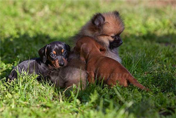 criaderos perros mini toy