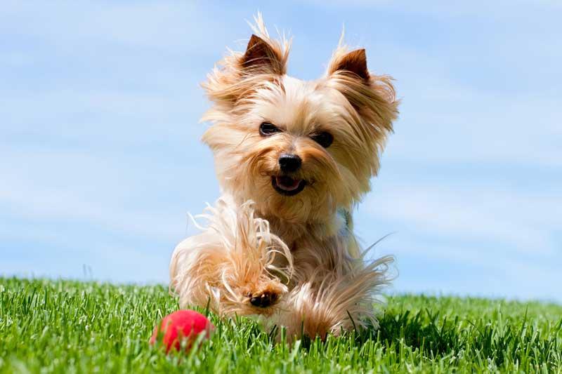 raza de perro yorkshire