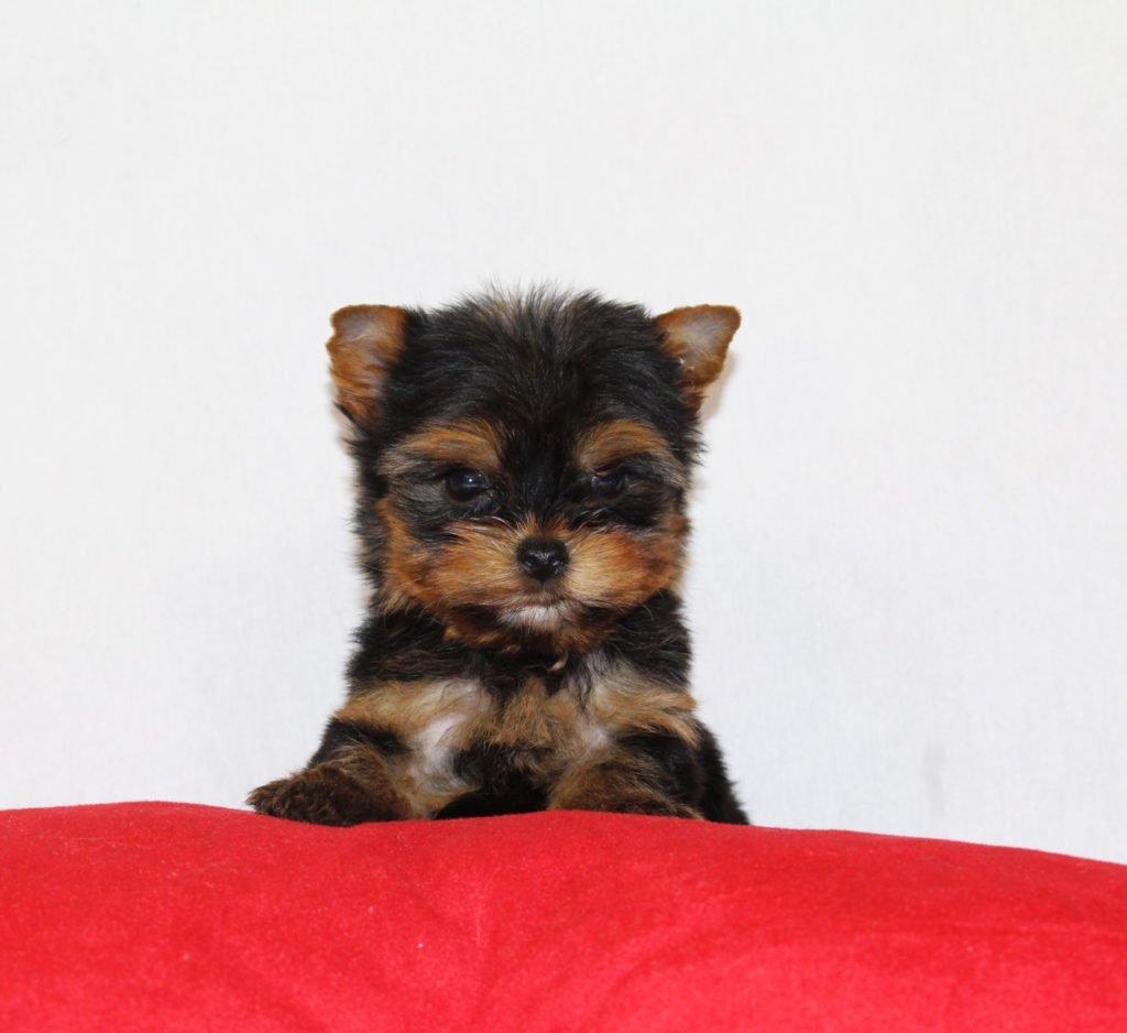 comprar cachorro yorkshire