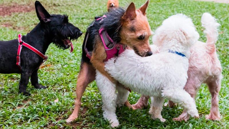 cuándo esterilizar un perro