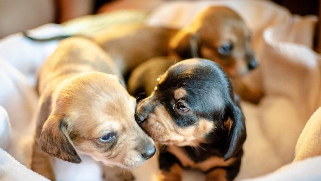 esterilizar un perro