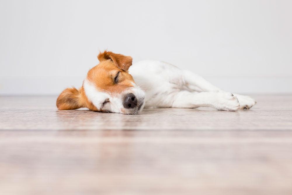 síntomas otitis perro