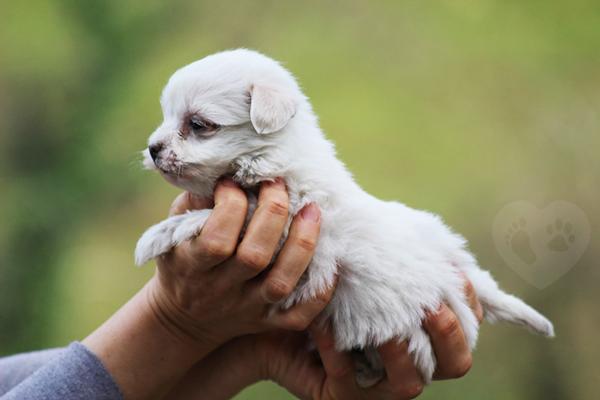 comprar cachorros bichón maltés