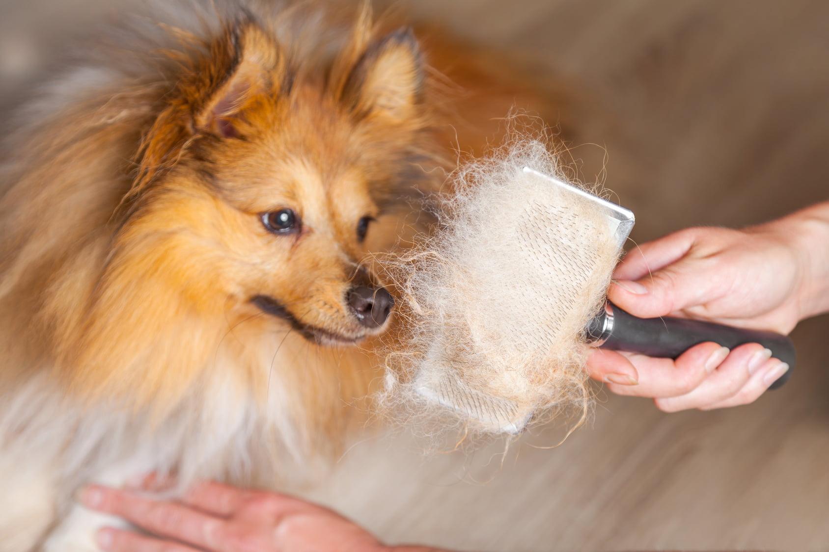 la muda de pelo en los perros