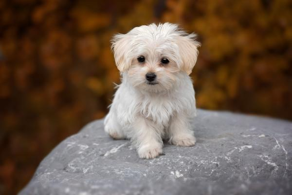 razas de perros para alérgicos