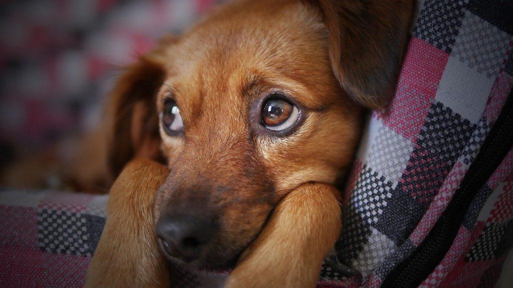anuncios_falsos_de_perros