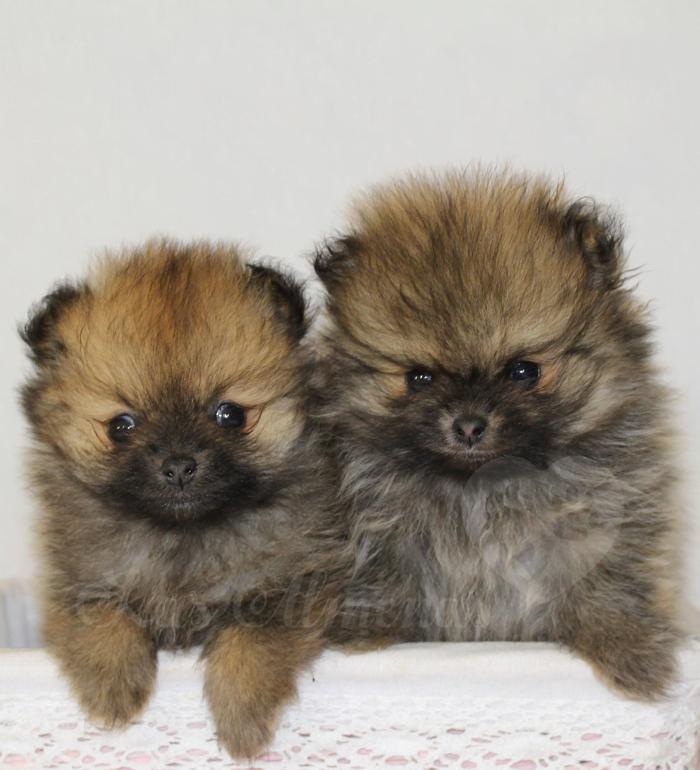 cachorritos pomerania crianza