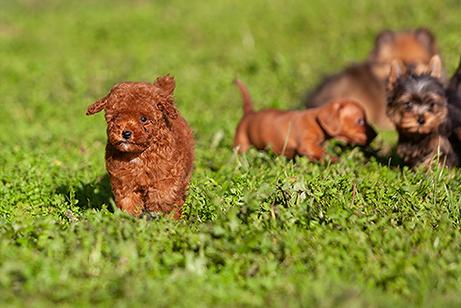cachorros perros mini
