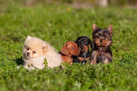 perros razas mini toy