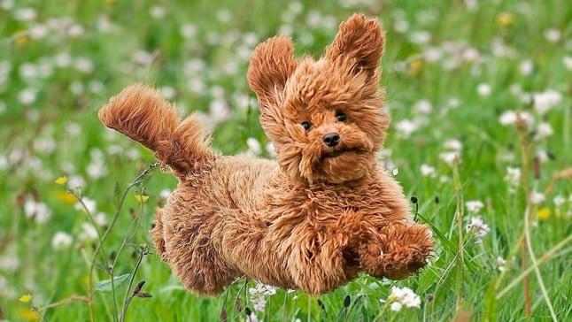 criadero-perros-mini-responsable