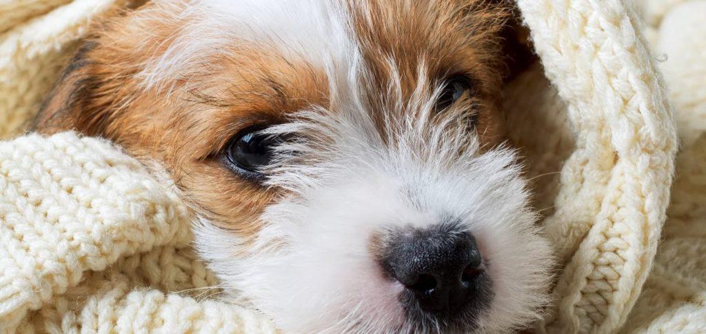 curar-conjuntivitis-perros