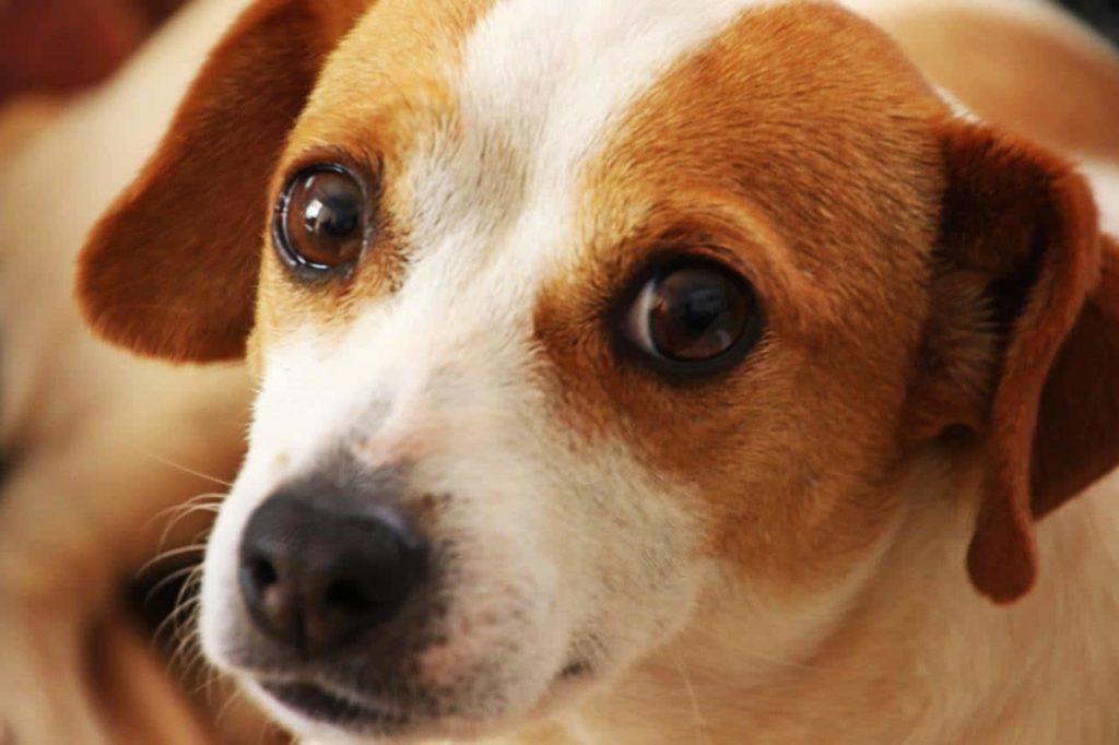 sintomas-conjuntivitis-perros