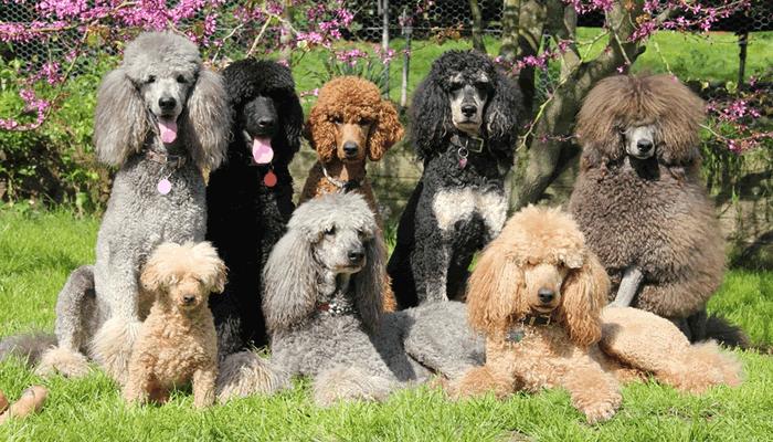 colores-raza-perro-caniche