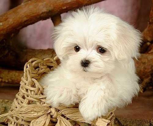 comprar cachorro bichón maltés