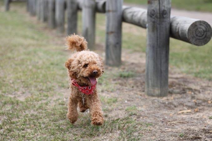 comprar cachorro caniche toy