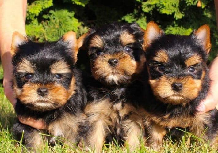 comprar cachorros Yorkshire
