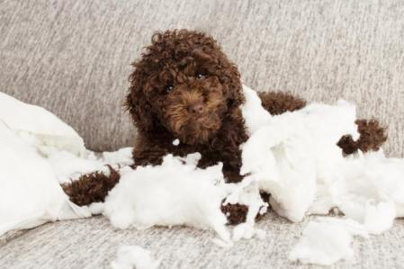 educar caniche toy