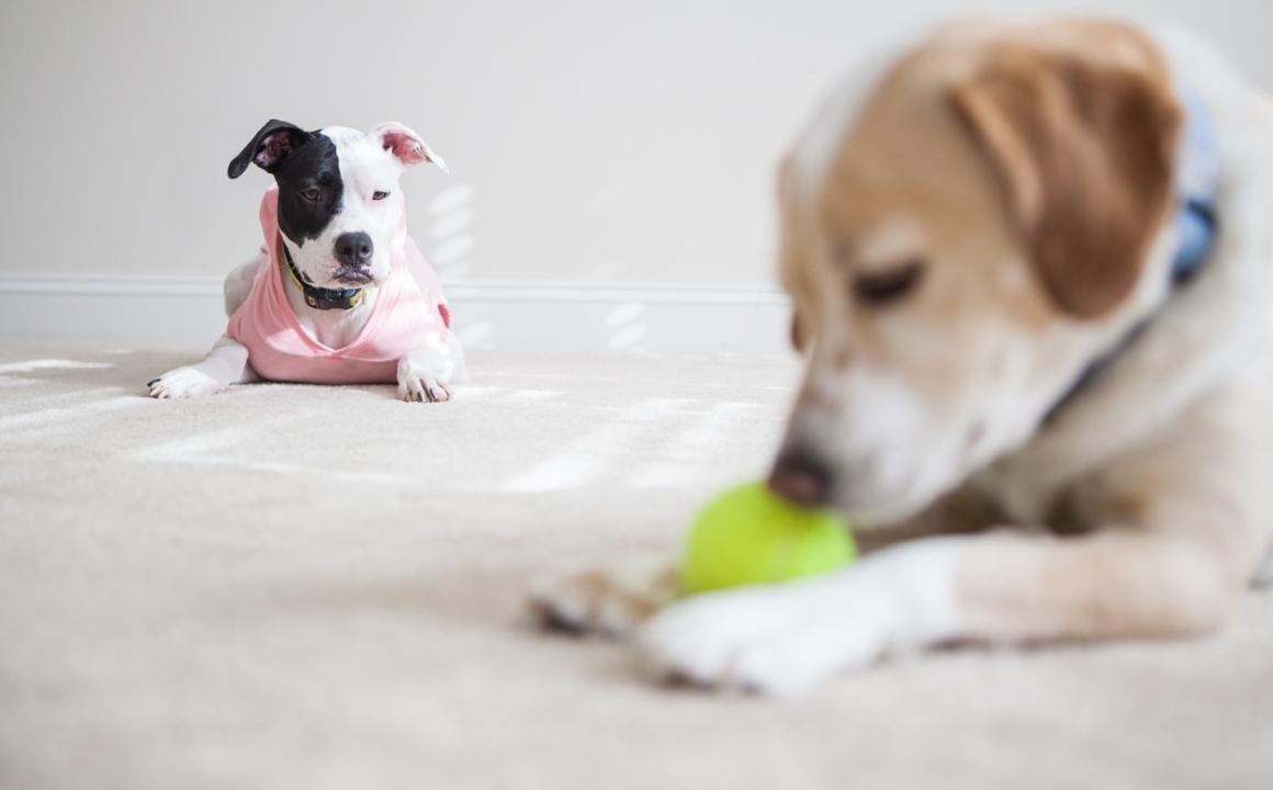 educar perro celoso