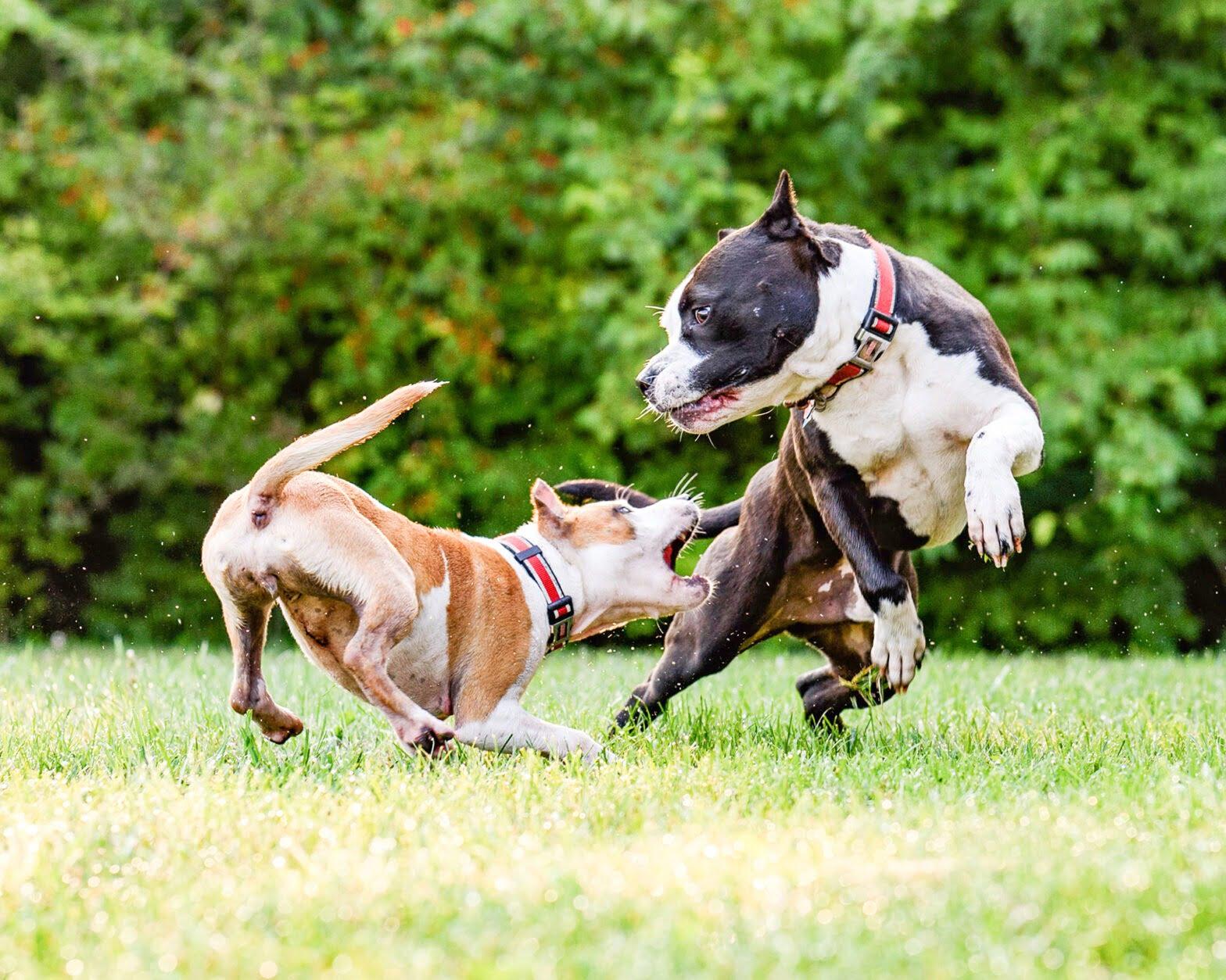 síntomas rabia perros
