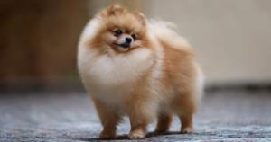 Comprar un Pomerania en España
