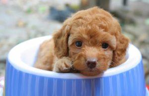 espirulina para perros