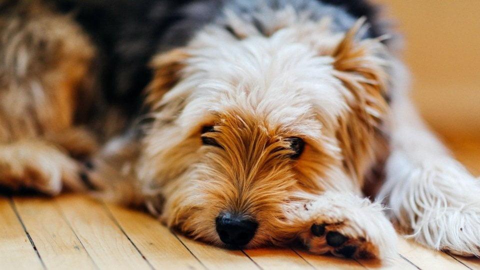 mi perro está triste